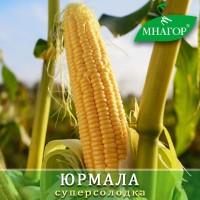 Безкоштовно консультуємо по вирощуванню солодкої кукурудзи Мнагор