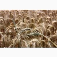 Рожь (жито) озимой Синтетик 38