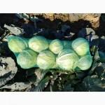 Продам капусту Бронко с поля