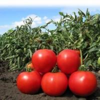 Продам помидоры на томатный сок