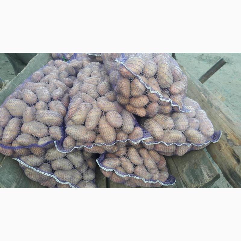 Картофель разные сорта 100 тонн, Кировоградская обл.