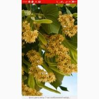 Купим оптом суой цвет липы 270гр