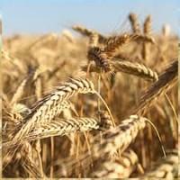 Продам посевной материал озимой пшеницы Москвич (супер элита)