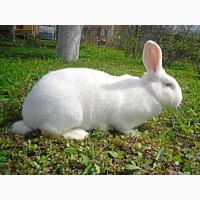 Кролики на племя. Белый Термон