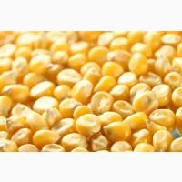 Куплю кукурузу до 2.5 тонн