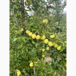 Продам яблуко сортів Чорний Принц, голден, чемпіон, пінова, джонаголд, декоста, фуджі
