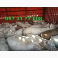Поросят на откорм оптом со свинокомплекса