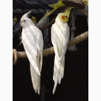 Продам попугаев, корелла-нимпфа и какарики