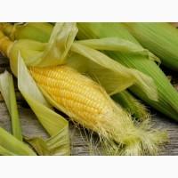 Семена кукурузы СИ ЭНЕРМАКС ФАО 330