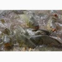 Продам малька живой рыбы толстолобик, амур, щука, сом