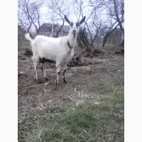 Продам дійні кози, козлики альпійська і заанеська породи.дорослі і молодняк