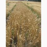 Семена пшеницы озимой - сорт Фаворитка. Элита и 1 репродукция