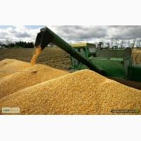 Срочно закупаю кукурузу