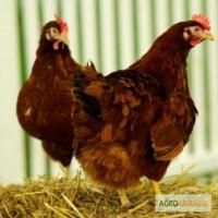 Продам инкубационные яйца Мастер Грей, Редбро, Франция