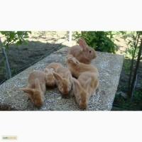 Продам кроликов, бургундская порода