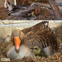 Продам серых гусей по всей Украине