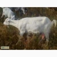 Продаю отличных молочных коз и кастр. козликов