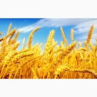 Пшеница на экспорт, 2, 3, классы, фураж, FOB Одесса