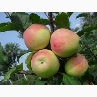 Продам яблука. Велика кількість сортів. м.Шаргород