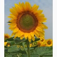 Продам семена подсолнечника НС Имисан (толерантен к евролайтнингу) (Нови Сад/NS Seme)
