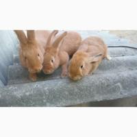 Продаю кролі новозеландські