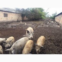 Свиньи, поросята Мангал