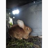 Продам кролиць та кроленят