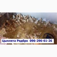 Суточные цыплята Редбро сезон 2019