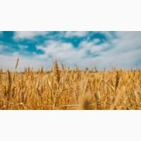 Оптовая закупка Пшеницы