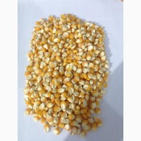 White and Yellow Corn for sale