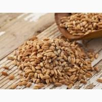 Продам спельту (дику пшеницю)
