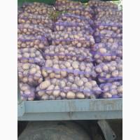 Купим товарный, бюджетный картофель в больших объёмах