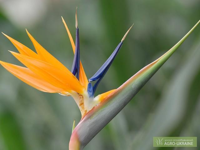 Фото цветка стрелиция королевская 98