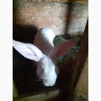 Продам кролицю (кроля)