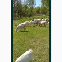 Куплю стадо козы