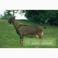 Немецкая пестрая коза продается