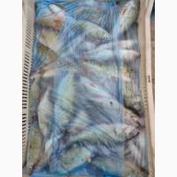 Речная рыба оптом, карась