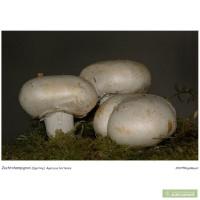 Мицелий шампиньона садового - один из самых популярных шампиньонов после двуспорого