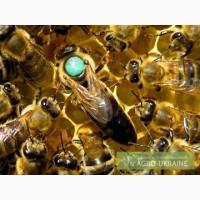 Пчеломатки карпатка 2018. Пчелиные плодные ( меченые) матки