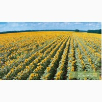 Семена подсолнечника Ясон, Форвард, Любаш, Рембо, Украинский ф1