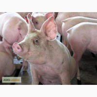 Комбикорм для свиней финиш 65-115 кг