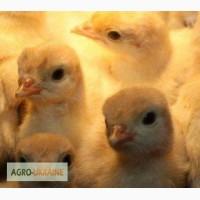 Яйца индюшиные для инкубации белых бройлерных индеек тяжелого кросса от 20 штук