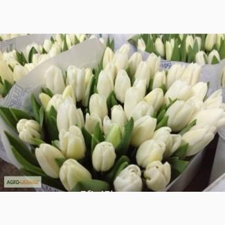 Тюльпани ОПТОМ.Голландія