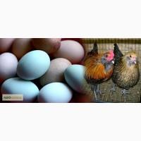 Яйця Аракуна
