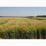 Семена твердой пшеницы озимой - сорт Гардемарин. Элита