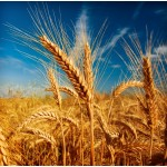ЗАКУПАЕМ ячмень, кукурузу и другие зерновые