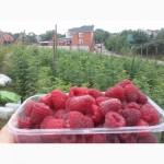 Саженцы малины (Seedlings raspberry)