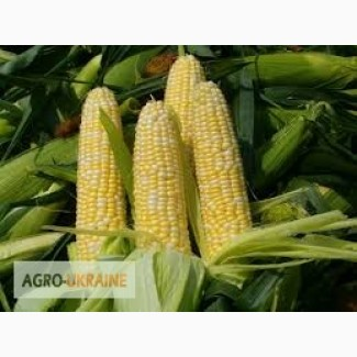 Закупаем кукурузу фуражную.Вся Украина