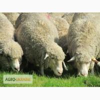 Продам овец породы меринос