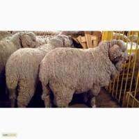 Куплю овец породы меринос и романовские